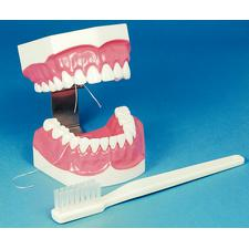 BRUSH & FLOSS MODEL
